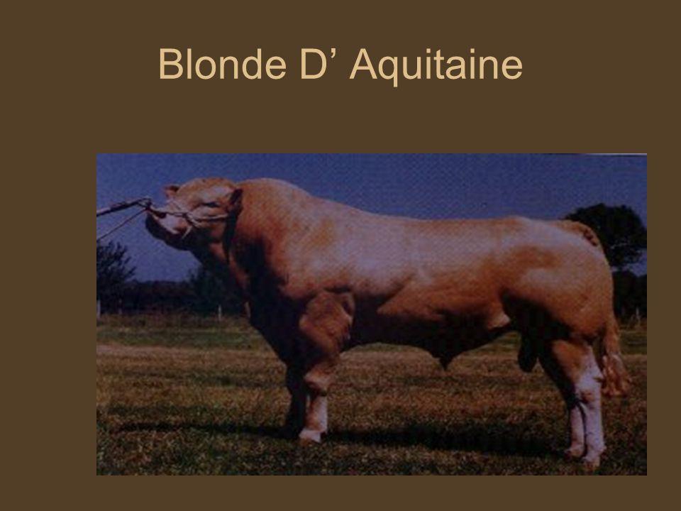 Szarvasmarha fajták Blonde D' Aquitaine