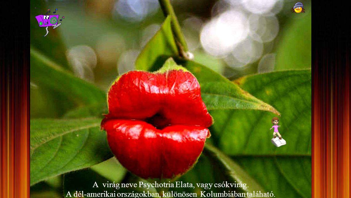 A virág neve Psychotria Elata, vagy csókvirág
