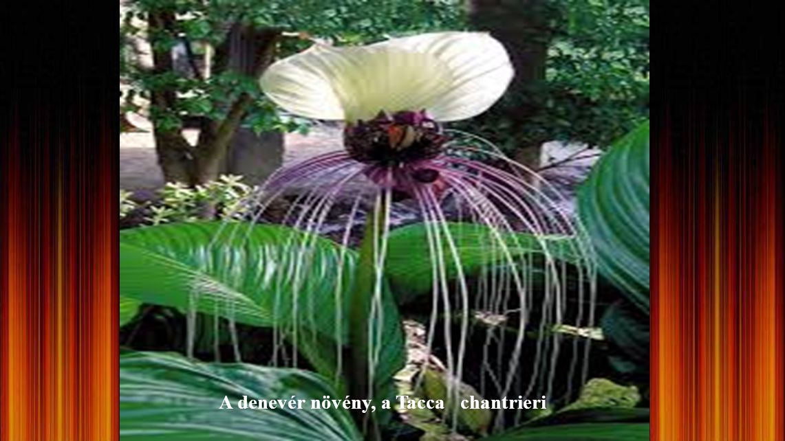 A denevér növény, a Tacca chantrieri