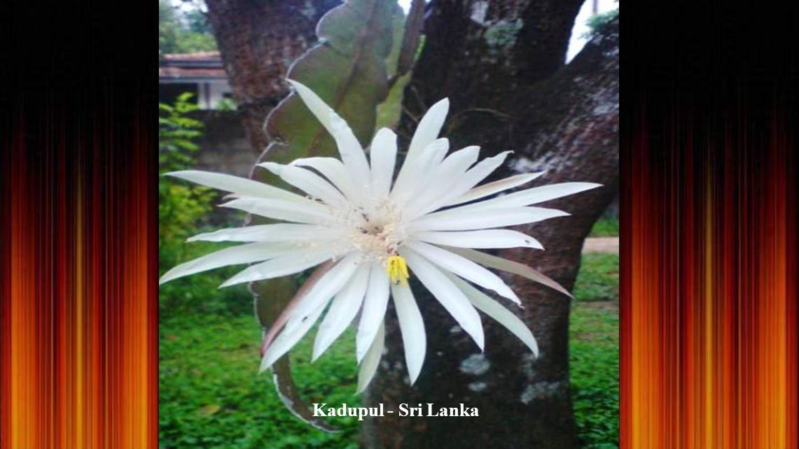 Kadupul - Sri Lanka