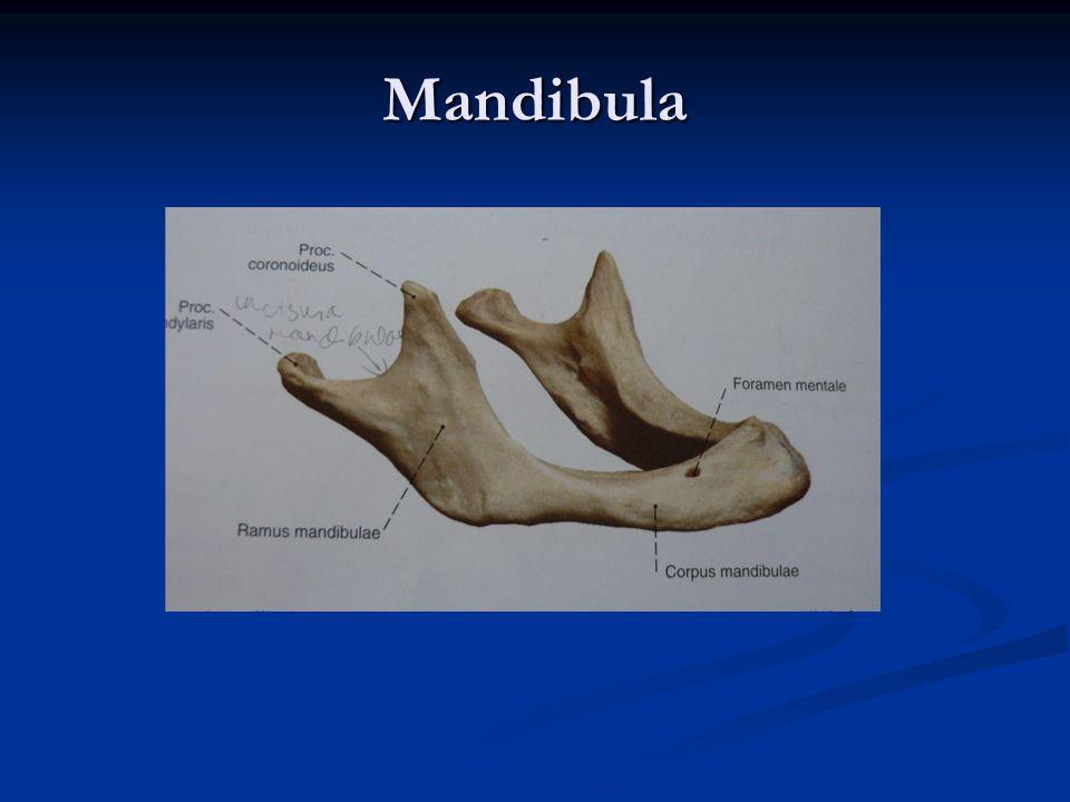 Mandibula