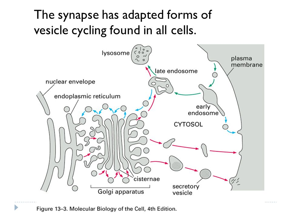 The synapse has adapted forms of
