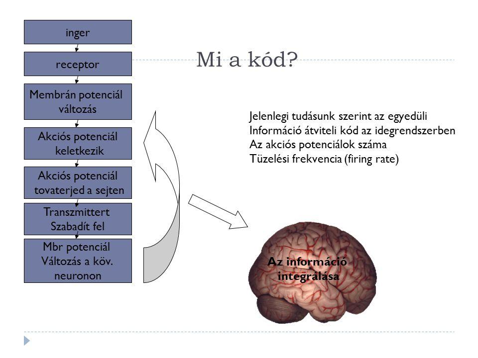 Mi a kód inger receptor Membrán potenciál változás