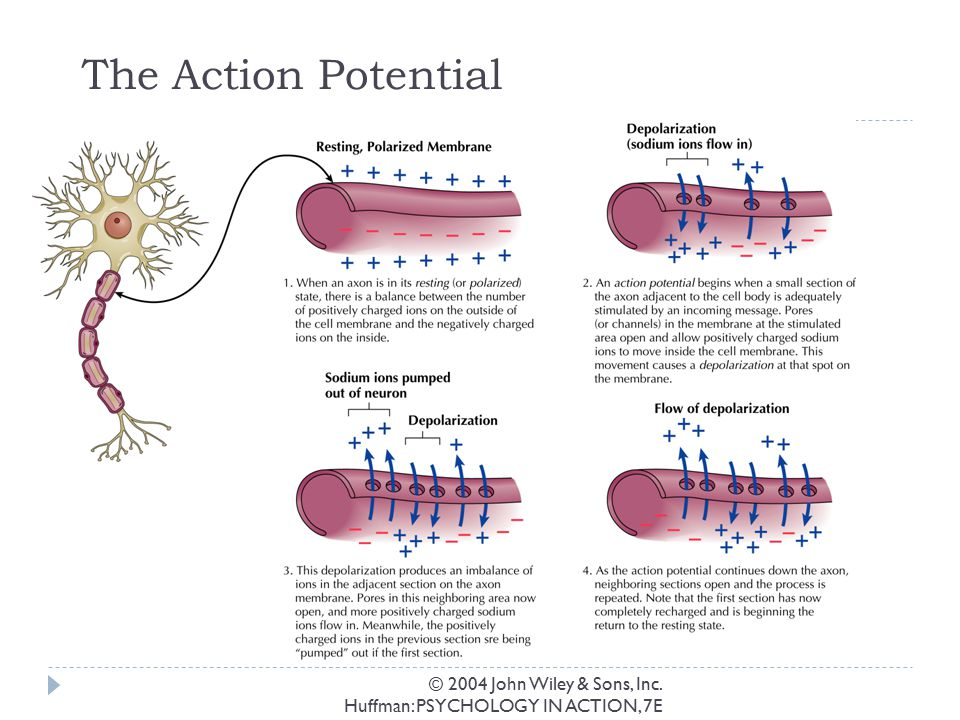The Action Potential © 2004 John Wiley & Sons, Inc.