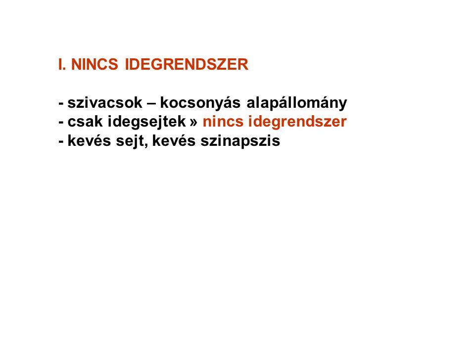 I. NINCS IDEGRENDSZER - szivacsok – kocsonyás alapállomány. - csak idegsejtek » nincs idegrendszer.
