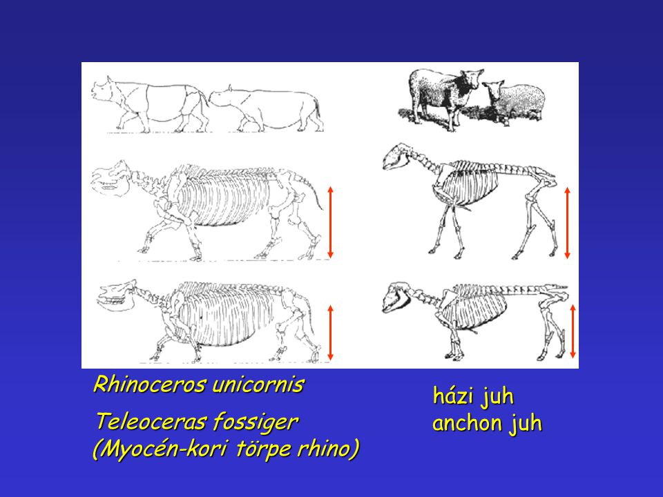 Rhinoceros unicornis házi juh anchon juh Teleoceras fossiger (Myocén-kori törpe rhino)