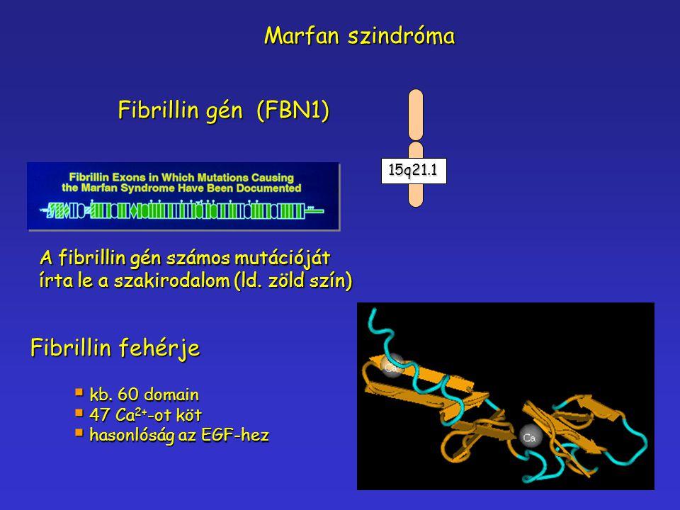 Marfan szindróma Fibrillin gén (FBN1) Fibrillin fehérje