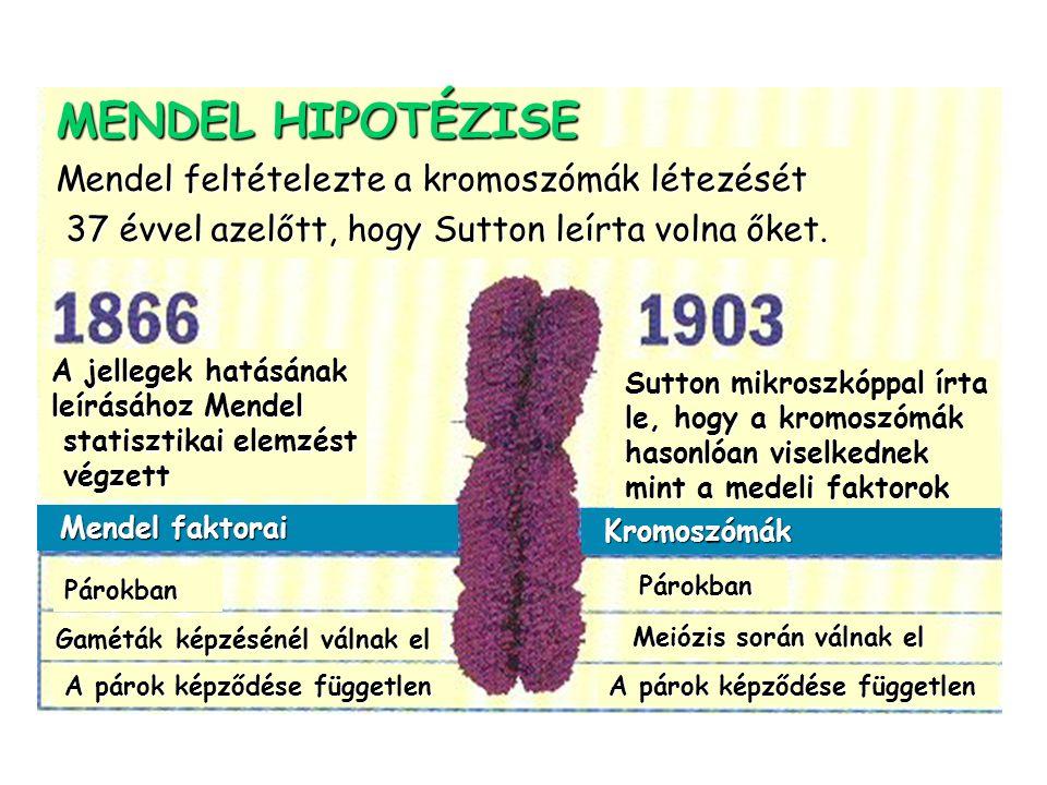 MENDEL HIPOTÉZISE Mendel feltételezte a kromoszómák létezését