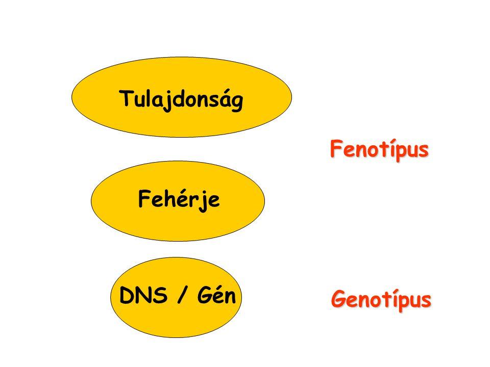 Tulajdonság Fenotípus Fehérje DNS / Gén Genotípus