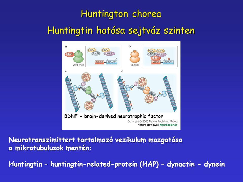 Huntington chorea Huntingtin hatása sejtváz szinten