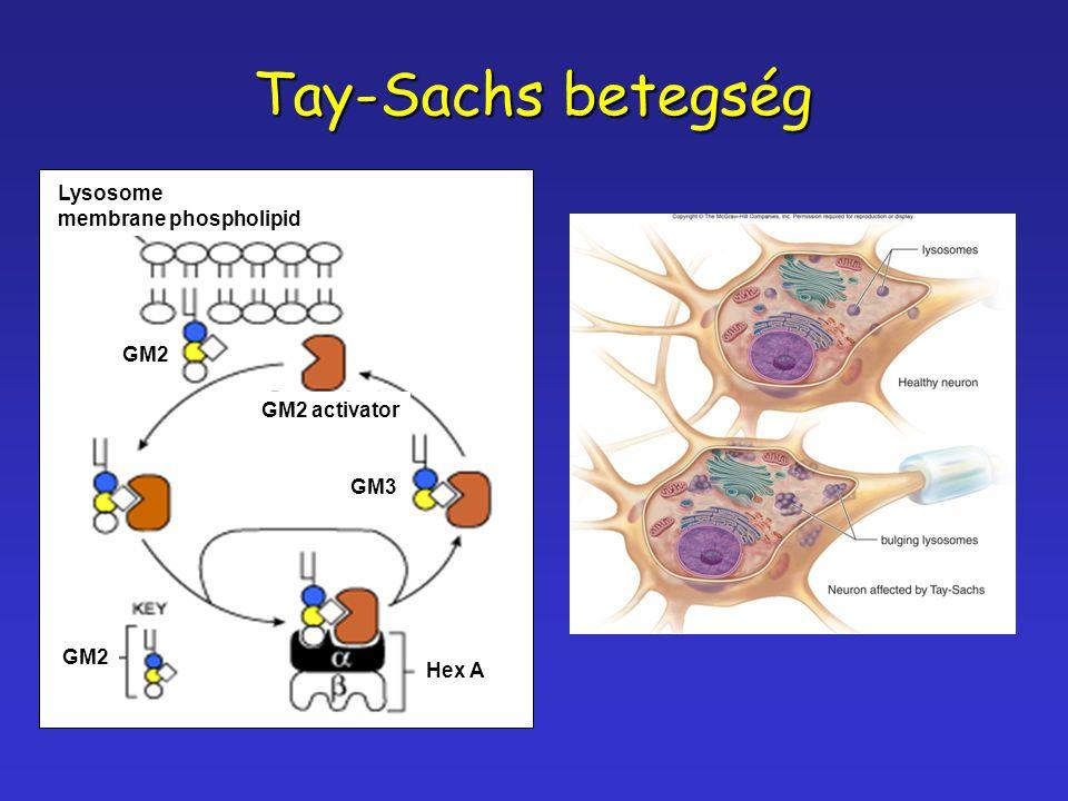 Tay-Sachs betegség Lysosome membrane phospholipid GM2 GM2 activator