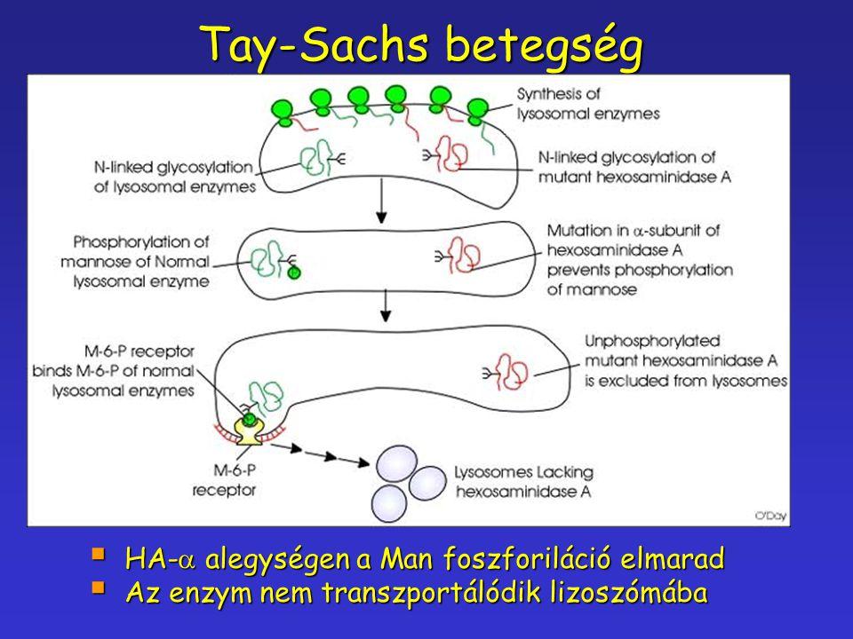 Tay-Sachs betegség HA-a alegységen a Man foszforiláció elmarad