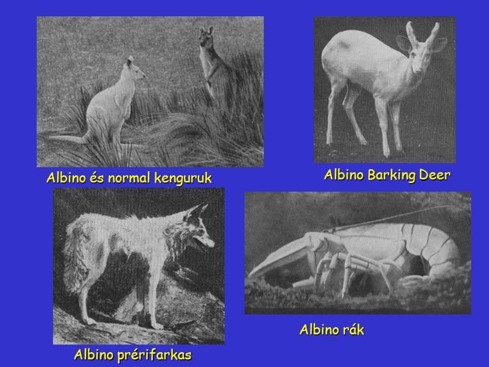 Albino és normal kenguruk
