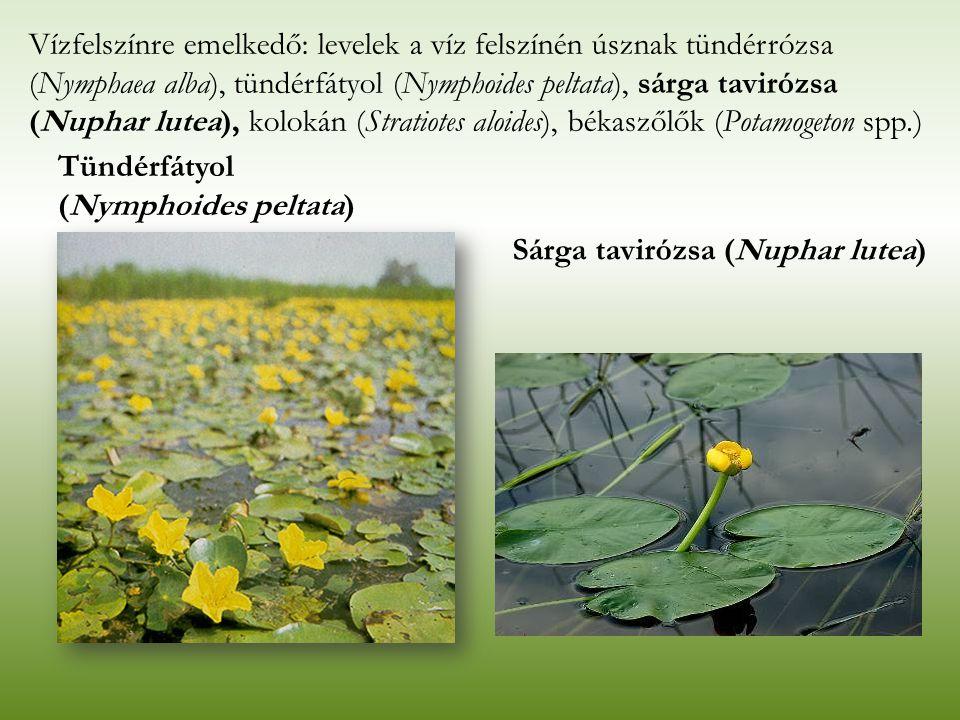 Vízfelszínre emelkedő: levelek a víz felszínén úsznak tündérrózsa (Nymphaea alba), tündérfátyol (Nymphoides peltata), sárga tavirózsa (Nuphar lutea), kolokán (Stratiotes aloides), békaszőlők (Potamogeton spp.)