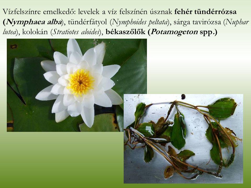 Vízfelszínre emelkedő: levelek a víz felszínén úsznak fehér tündérrózsa (Nymphaea alba), tündérfátyol (Nymphoides peltata), sárga tavirózsa (Nuphar lutea), kolokán (Stratiotes aloides), békaszőlők (Potamogeton spp.)
