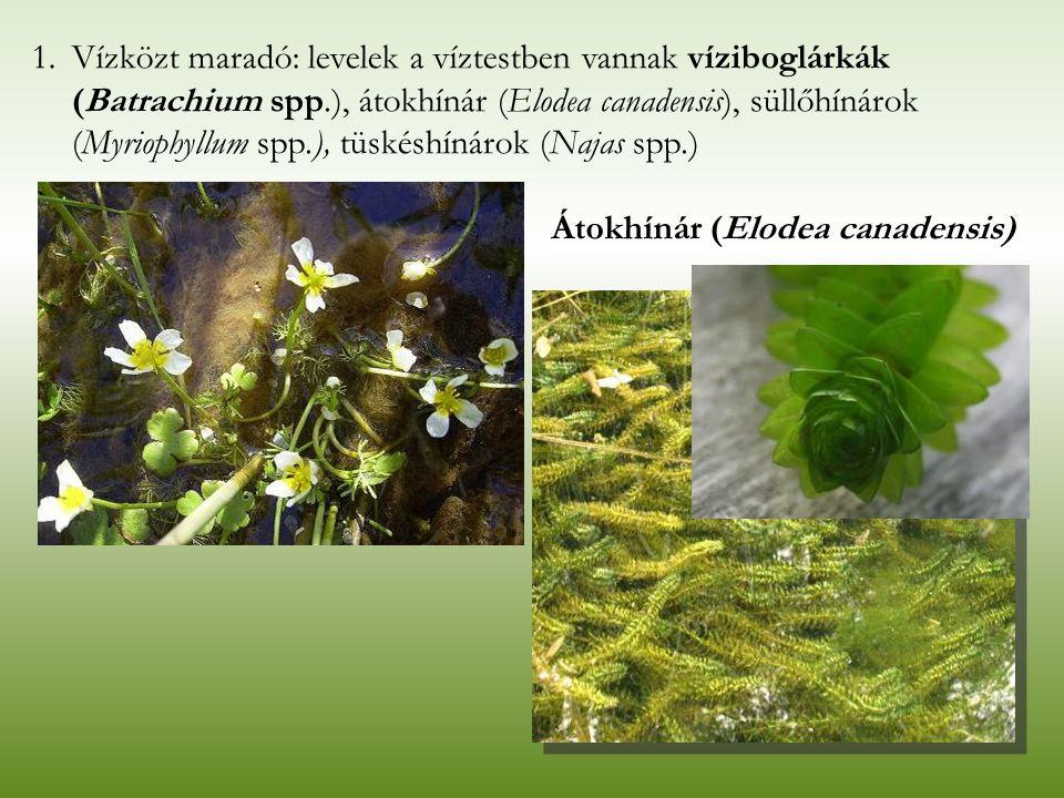 Vízközt maradó: levelek a víztestben vannak víziboglárkák (Batrachium spp.), átokhínár (Elodea canadensis), süllőhínárok (Myriophyllum spp.), tüskéshínárok (Najas spp.)