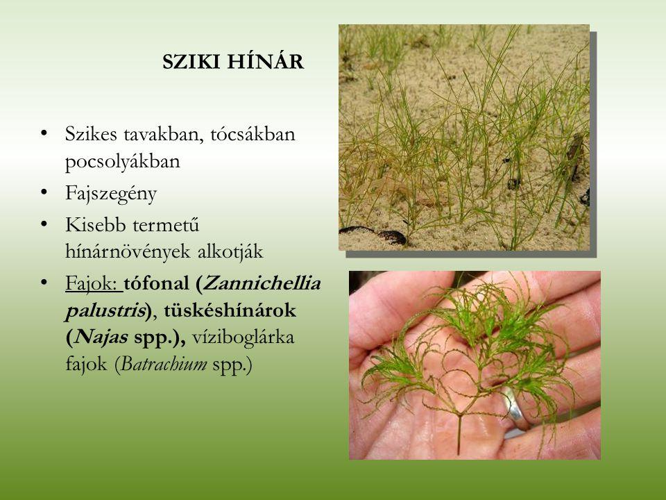 SZIKI HÍNÁR Szikes tavakban, tócsákban pocsolyákban. Fajszegény. Kisebb termetű hínárnövények alkotják.