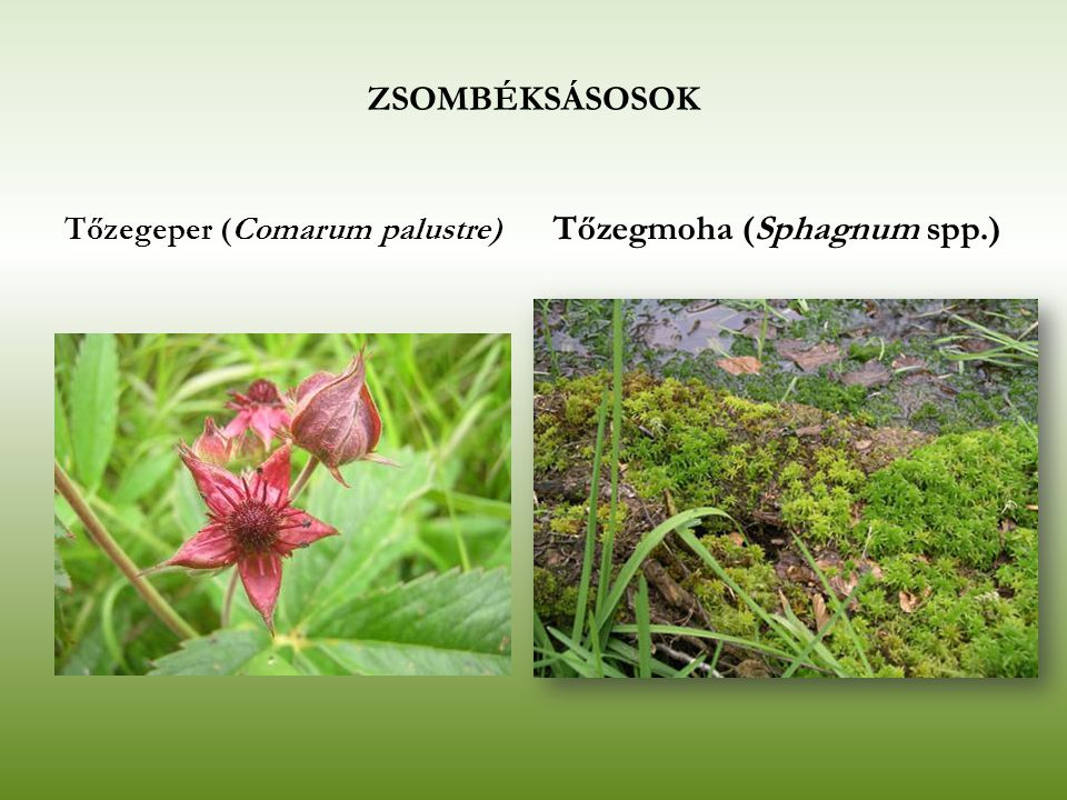 Tőzegmoha (Sphagnum spp.)