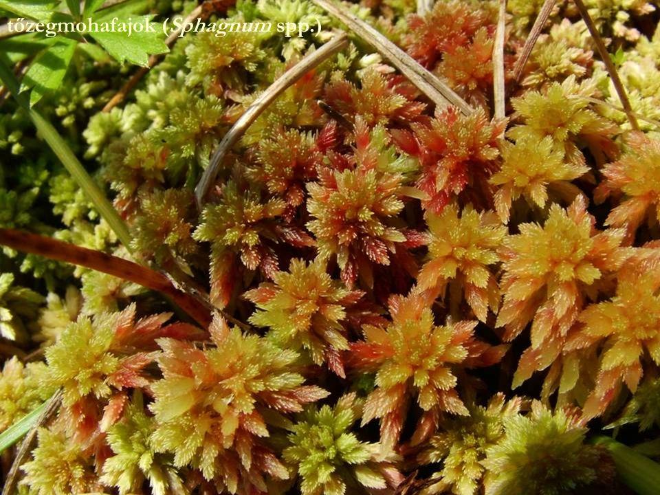 tőzegmohafajok (Sphagnum spp.)
