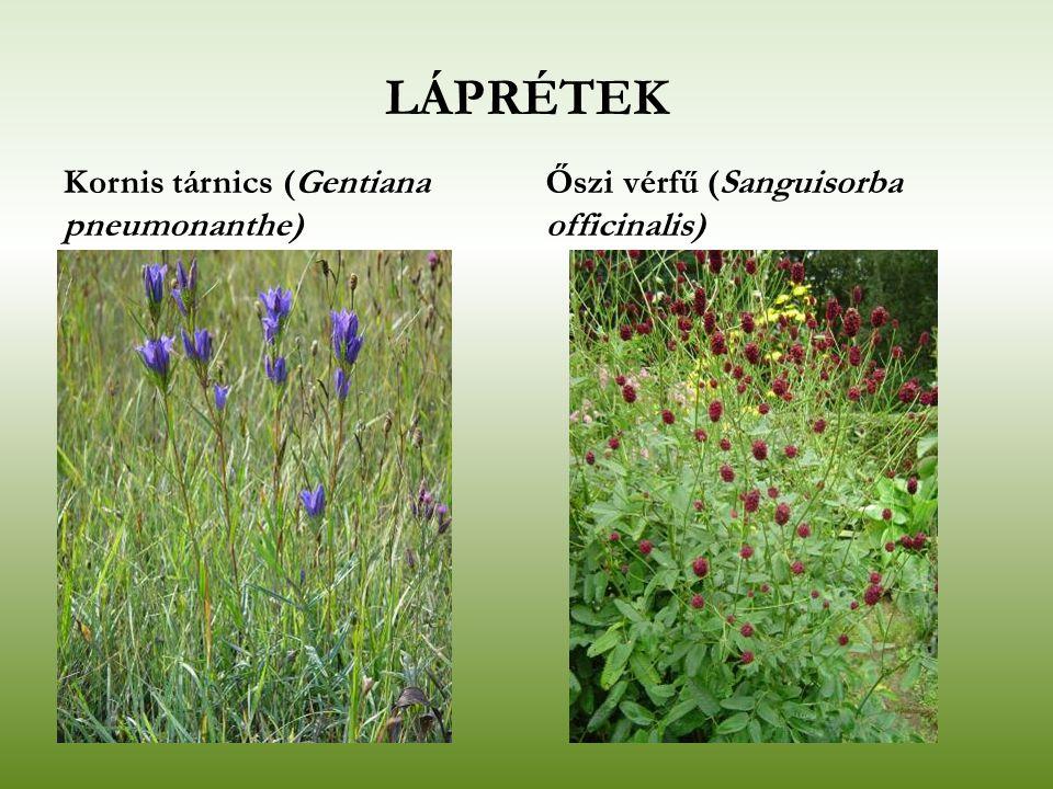 LÁPRÉTEK Kornis tárnics (Gentiana pneumonanthe)