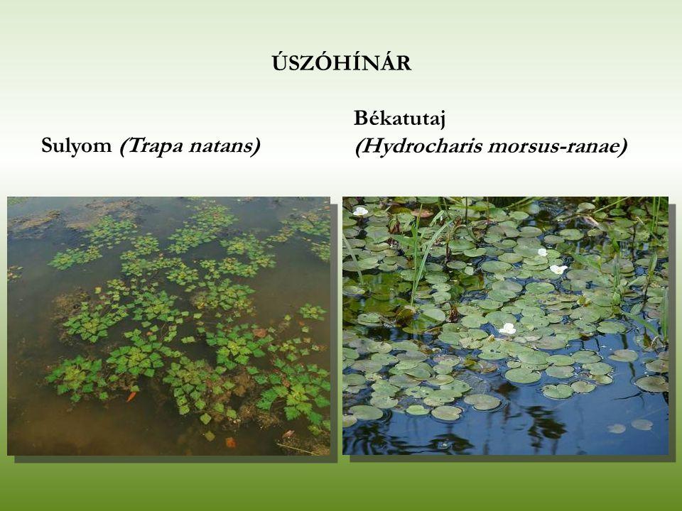 ÚSZÓHÍNÁR Sulyom (Trapa natans) Békatutaj (Hydrocharis morsus-ranae)