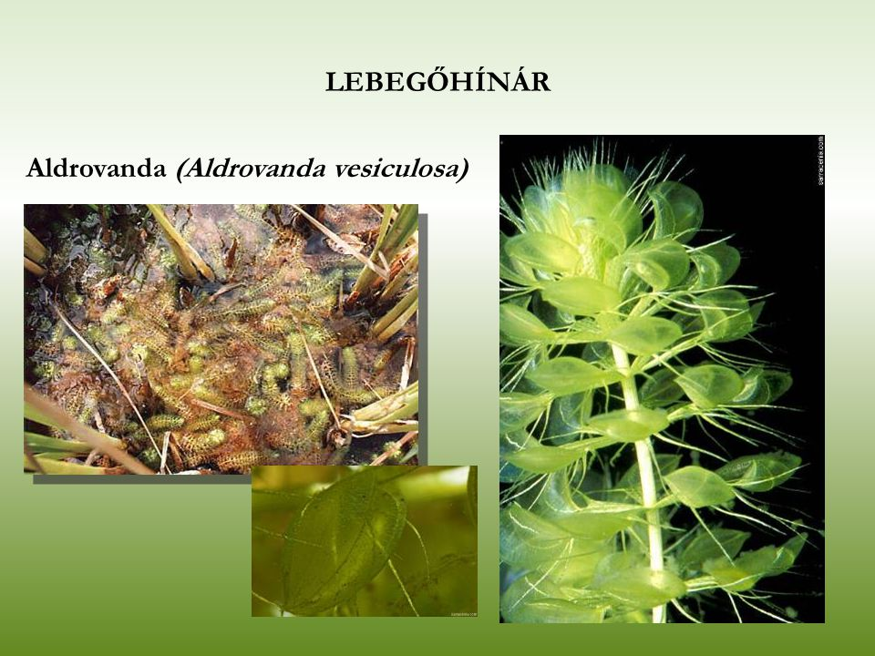 LEBEGŐHÍNÁR Aldrovanda (Aldrovanda vesiculosa)