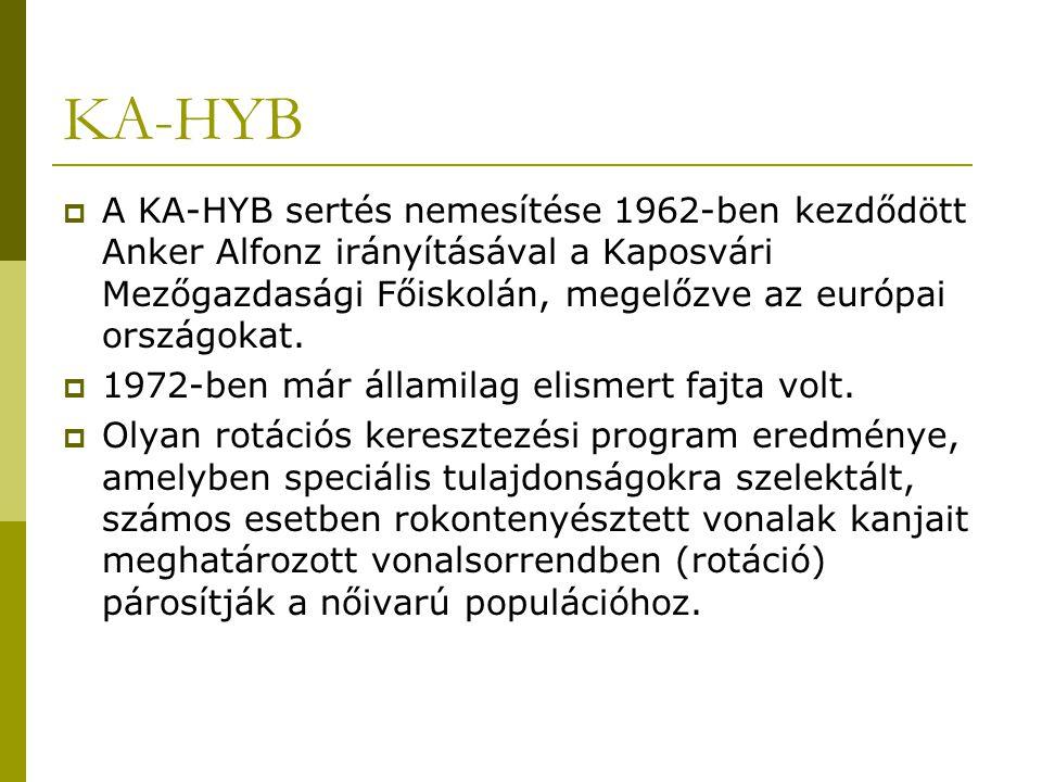 KA-HYB A KA-HYB sertés nemesítése 1962-ben kezdődött Anker Alfonz irányításával a Kaposvári Mezőgazdasági Főiskolán, megelőzve az európai országokat.