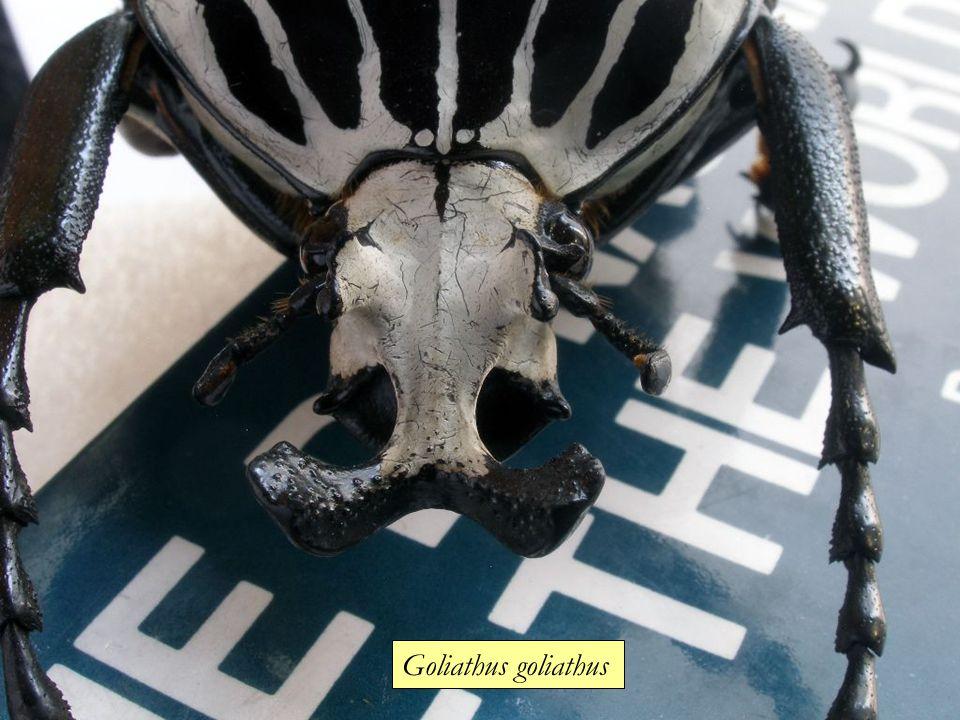 Goliathus goliathus