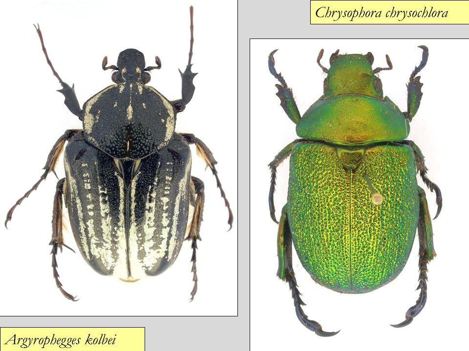 Chrysophora chrysochlora
