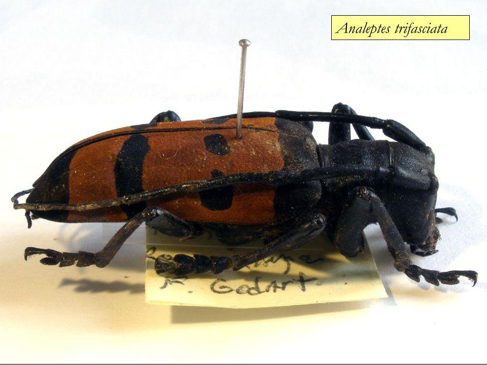 Analeptes trifasciata