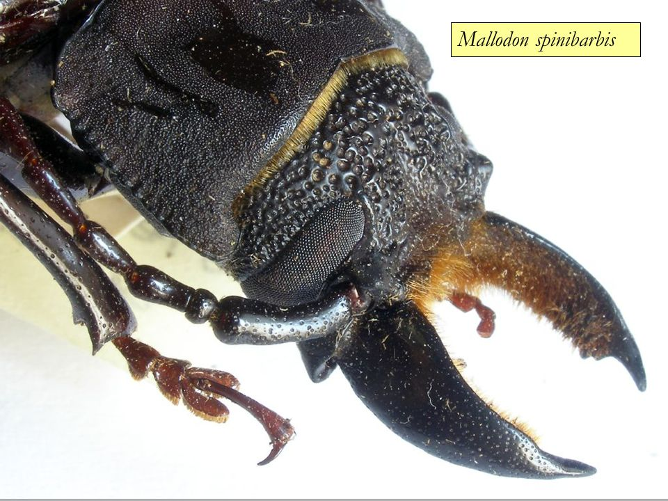 Mallodon spinibarbis