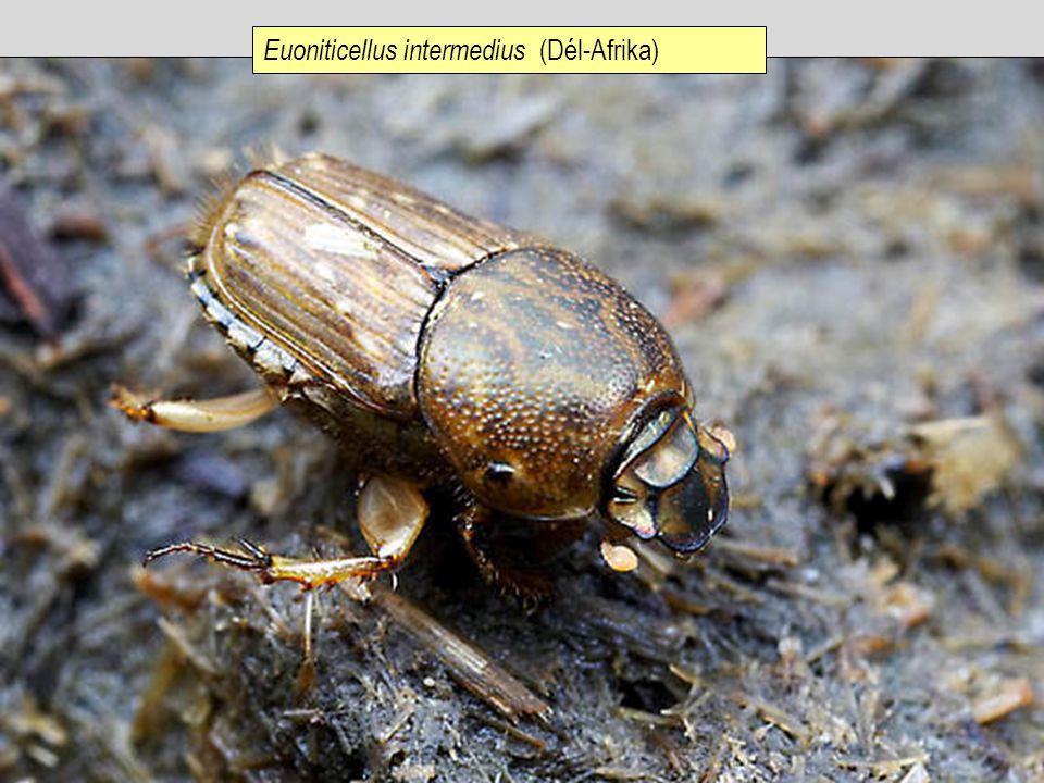 Euoniticellus intermedius (Dél-Afrika)