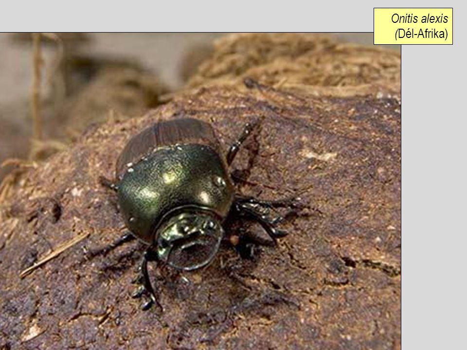 Onitis alexis (Dél-Afrika)