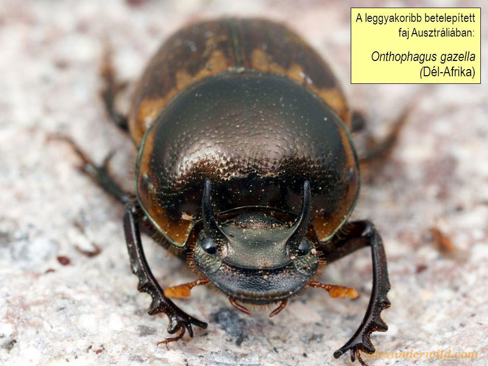 Onthophagus gazella (Dél-Afrika)