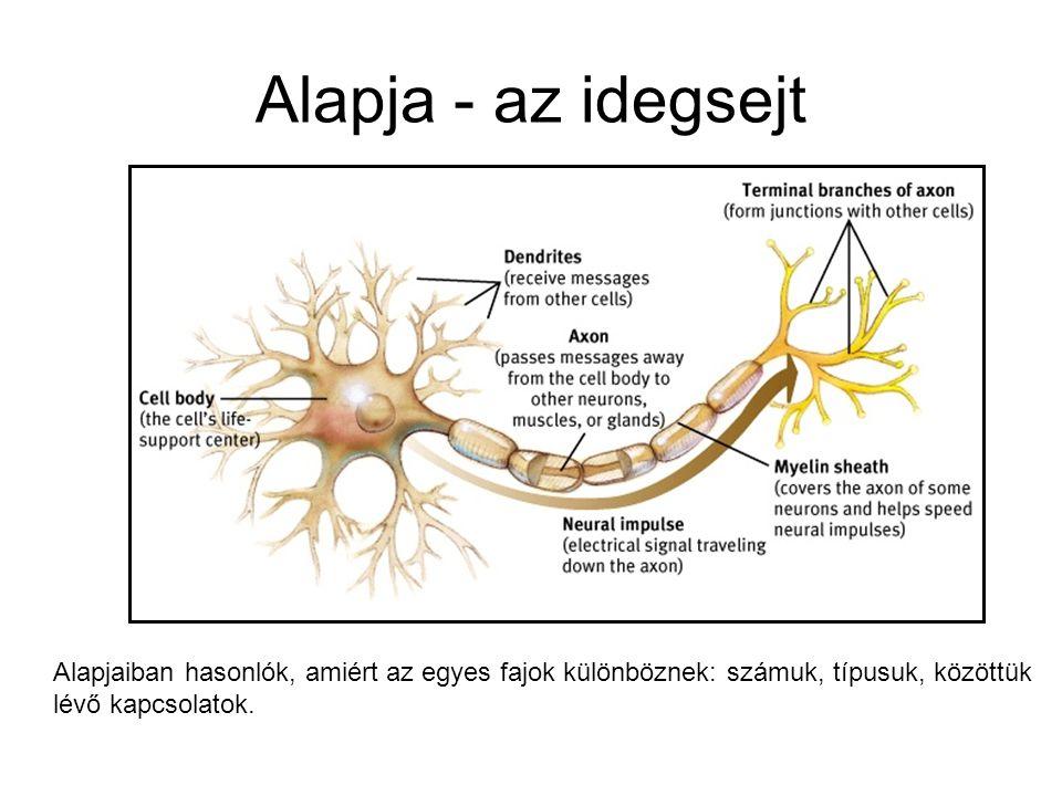 Alapja - az idegsejt Alapjaiban hasonlók, amiért az egyes fajok különböznek: számuk, típusuk, közöttük.