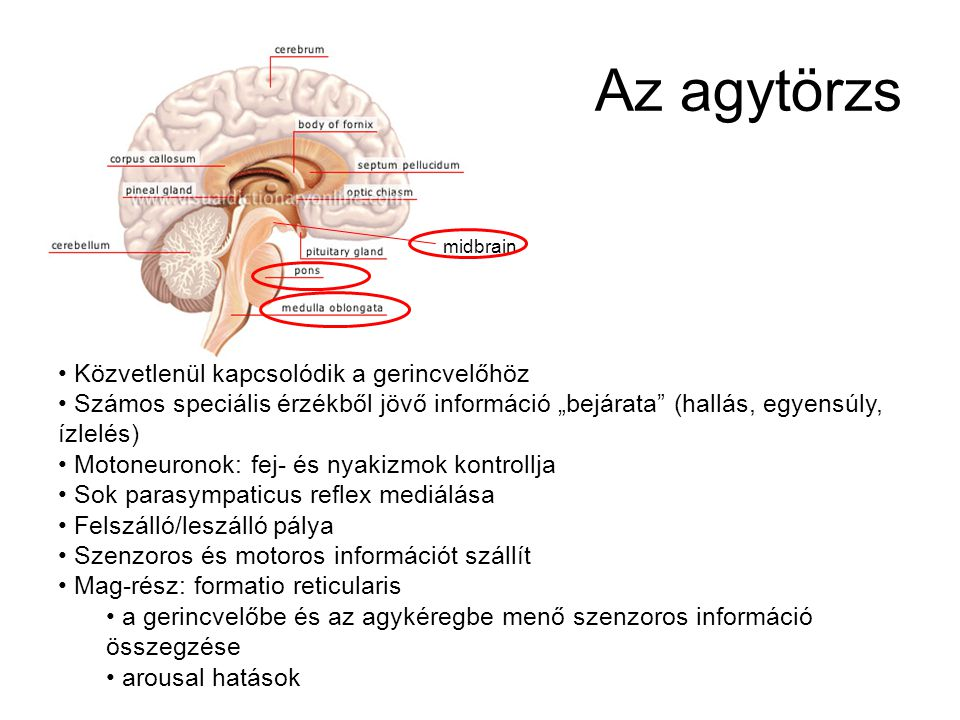 Az agytörzs Közvetlenül kapcsolódik a gerincvelőhöz