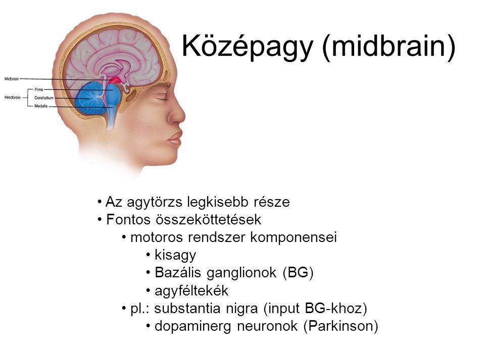 Középagy (midbrain) Az agytörzs legkisebb része Fontos összeköttetések
