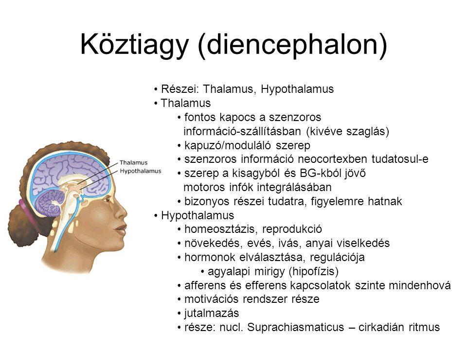 Köztiagy (diencephalon)