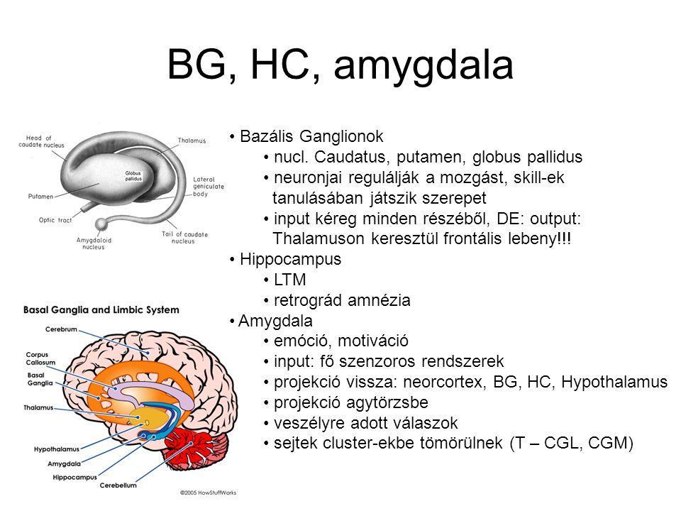 BG, HC, amygdala Bazális Ganglionok