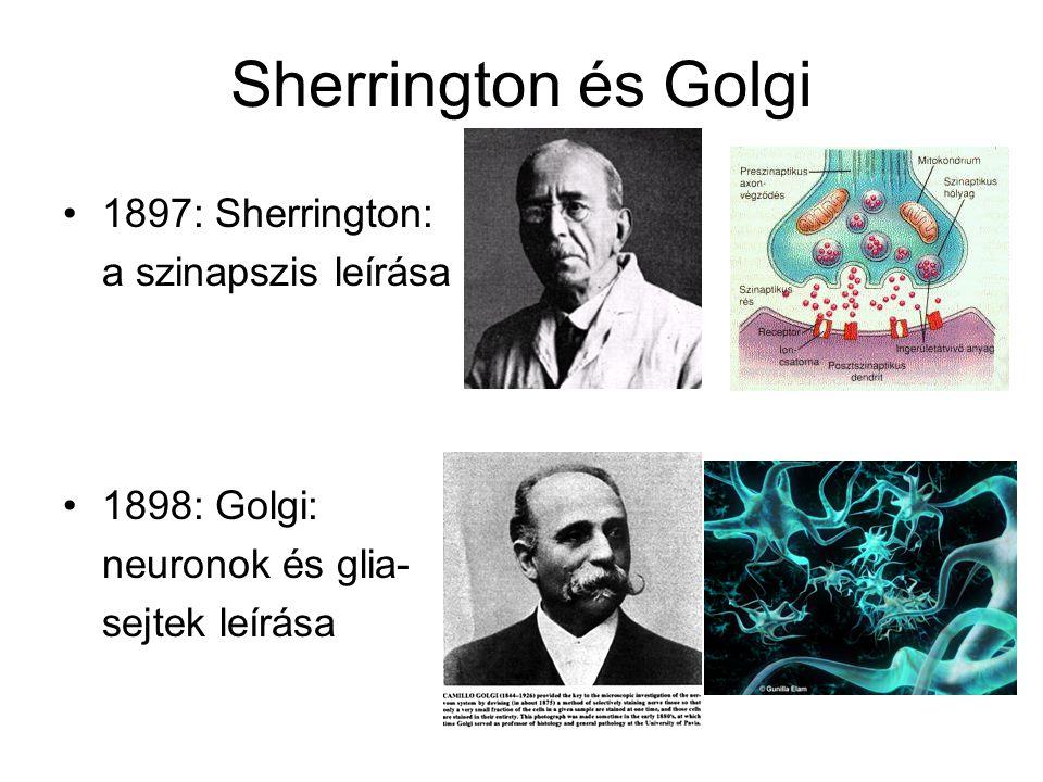 Sherrington és Golgi 1897: Sherrington: a szinapszis leírása