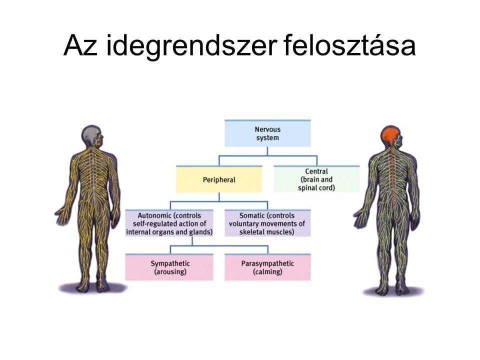 Az idegrendszer felosztása