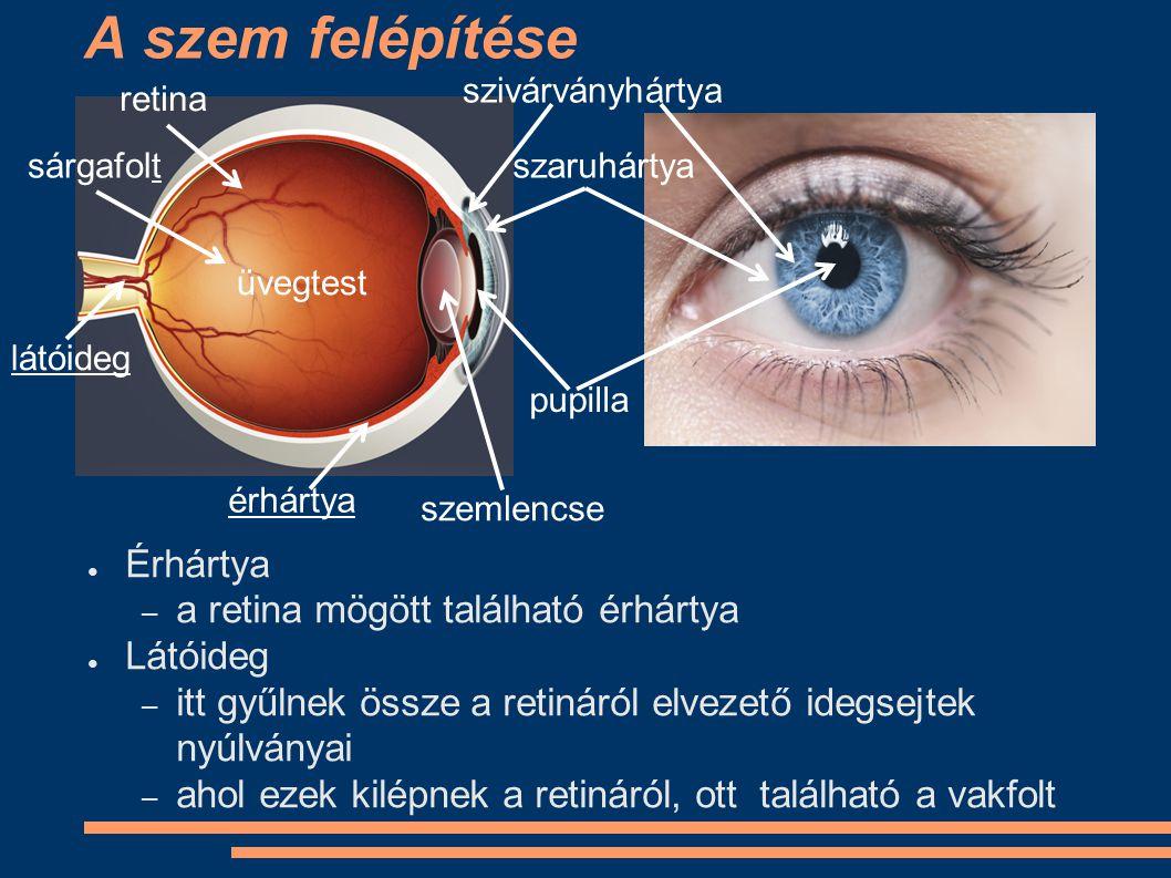 A szem felépítése Érhártya a retina mögött található érhártya Látóideg