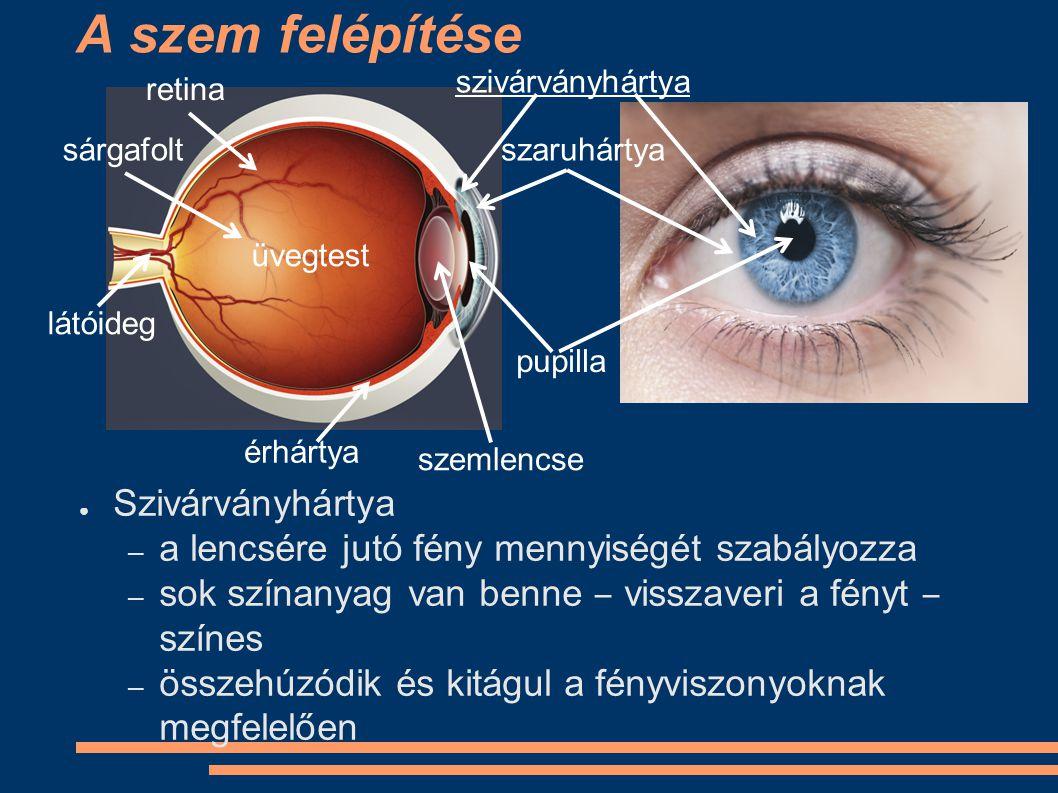 A szem felépítése Szivárványhártya