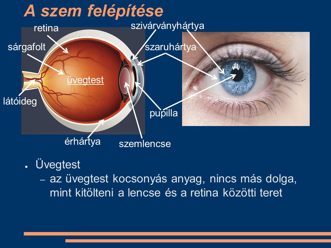 A szem felépítése Üvegtest