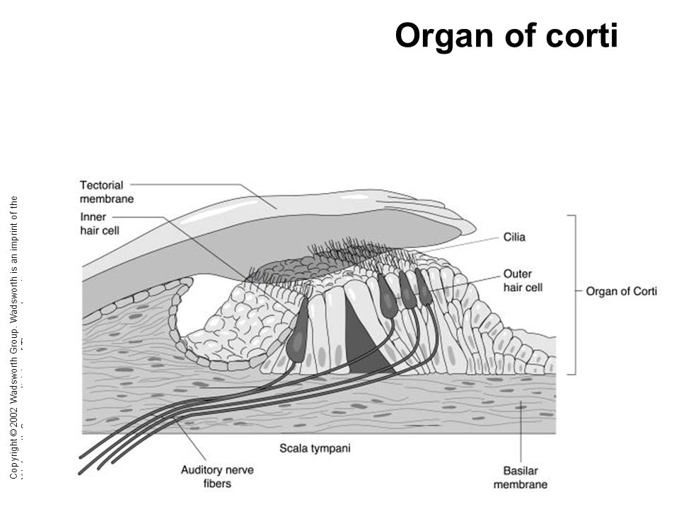 Organ of corti Copyright © 2002 Wadsworth Group.