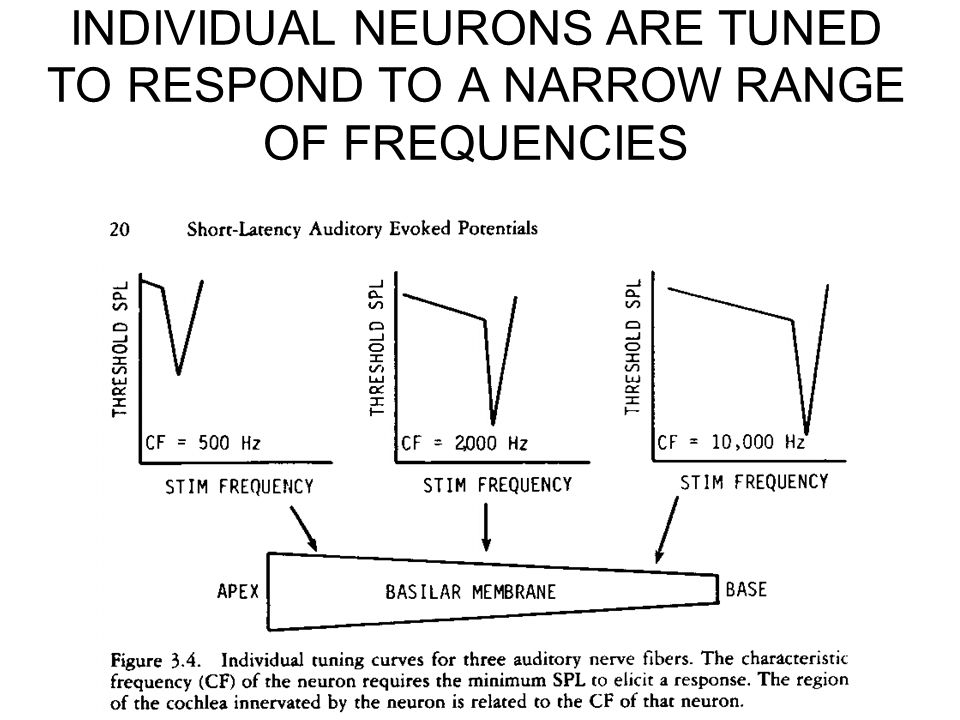 INDIVIDUAL NEURONS ARE TUNED TO RESPOND TO A NARROW RANGE OF FREQUENCIES
