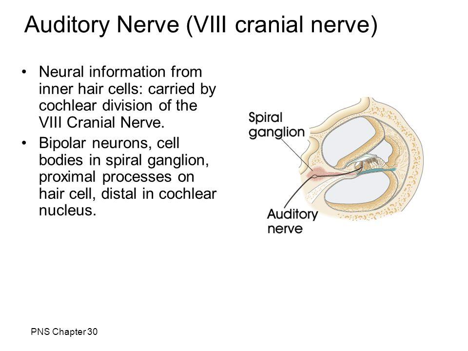 Auditory Nerve (VIII cranial nerve)