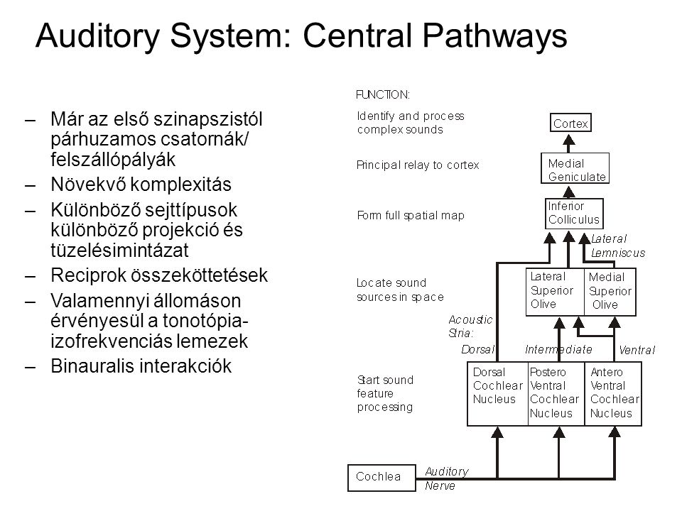 Auditory System: Central Pathways