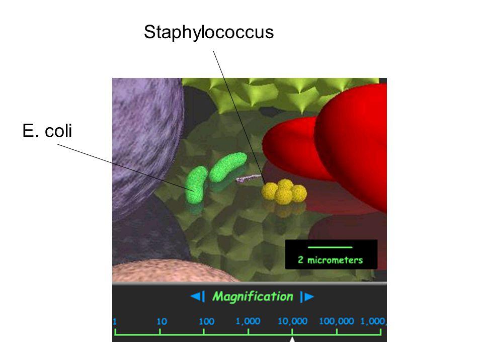 Staphylococcus E. coli