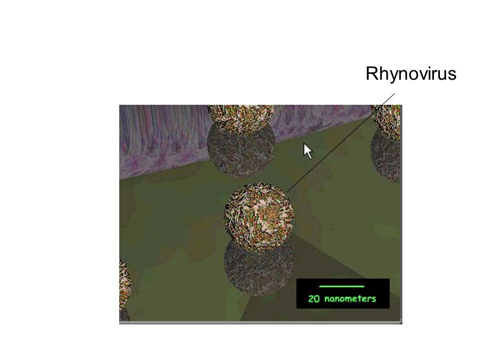 Rhynovirus